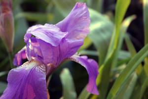 Fleur-de-lis flower stock #2 by croicroga