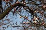 Apple tree starting to blossom