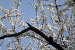 Apple trees in bloom stock #2