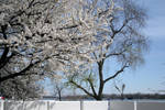 Apple trees in bloom stock #3