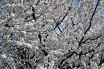 Apple trees in bloom stock #6