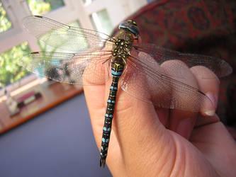 Blue Dragonfly by bagnaj97