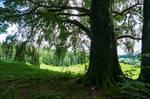 summer.tree.1