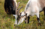 goats with hairdos 1 by nalina24