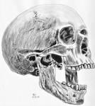 Skull 8 by Enlee-Jones