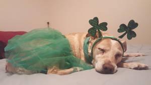 sleepy St. Patty's pupper