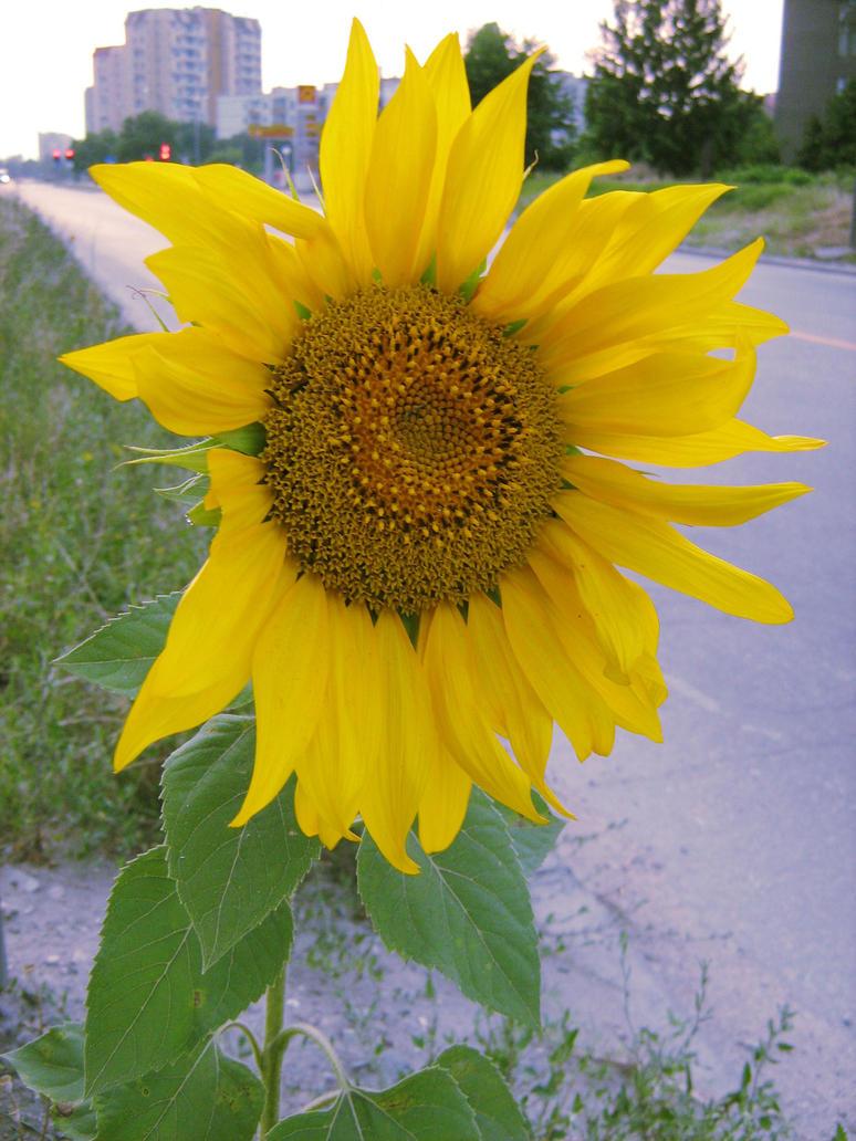Sunflower by ristiii