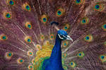 Peacock iridescence by SgtBoognish