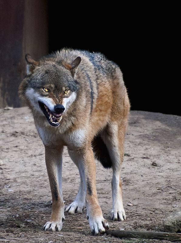 angry grey wolf - photo #16