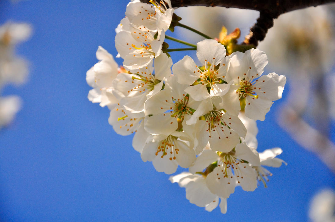 White tree flowers by lalylaura on deviantart white tree flowers by lalylaura mightylinksfo