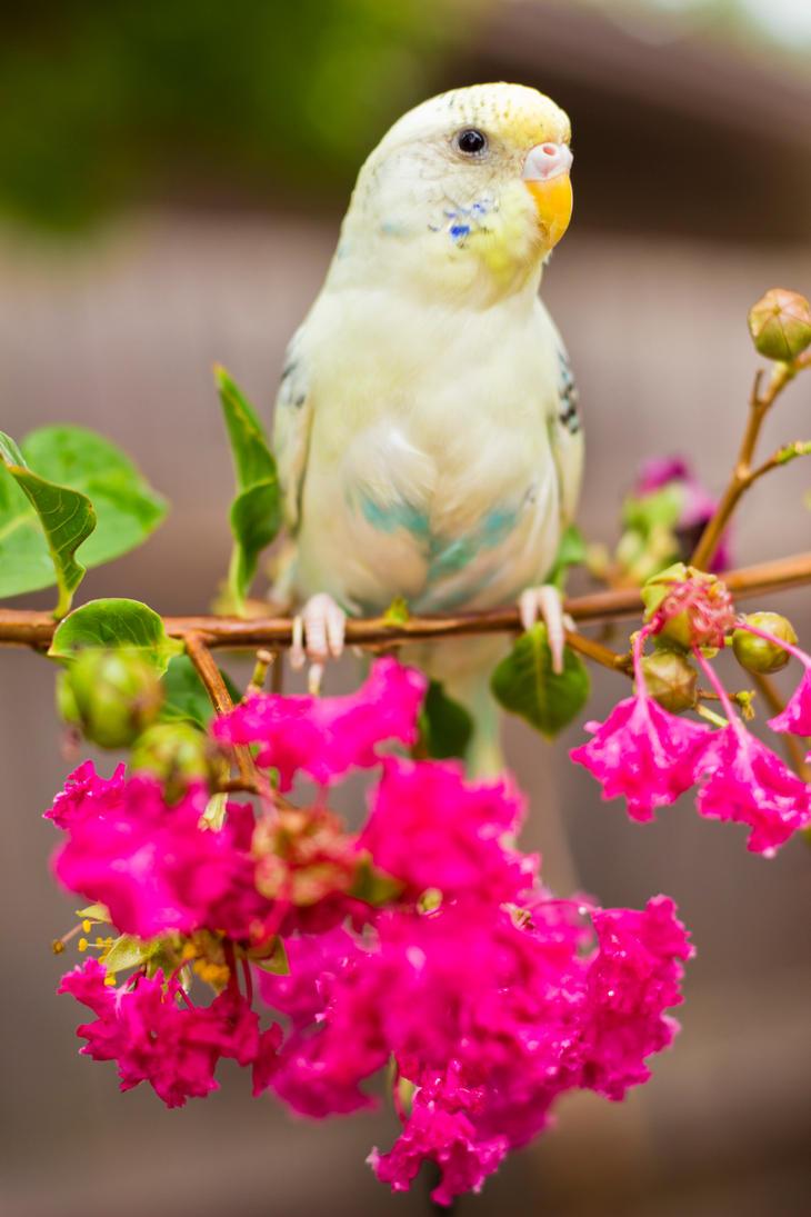 Elsa the Parakeet by blackwolf085