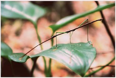 Tenodera pinapavonis