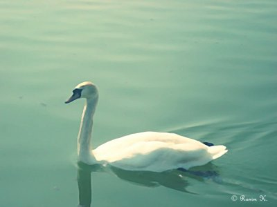 Le cygne solitaire by Ran-K