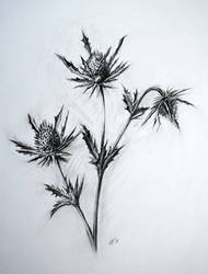 Thistle charcoal study