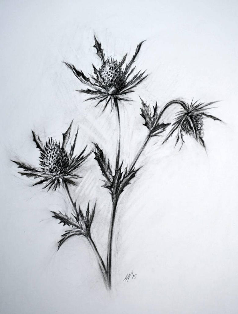 Thistle charcoal study  by MacAnthony30