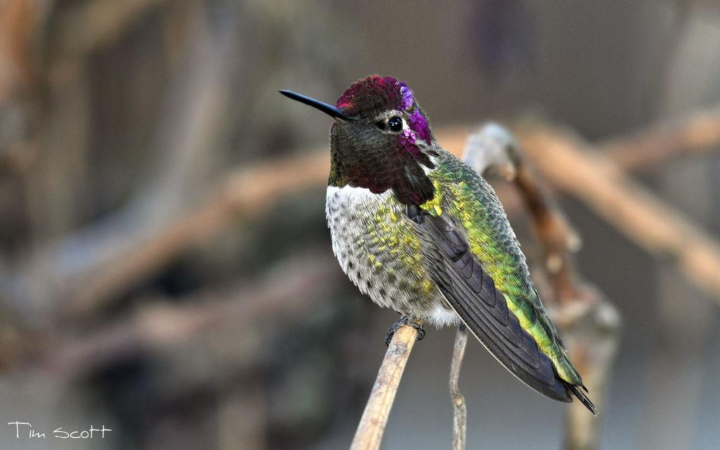 Anna's Hummingbird No.3757 by DigiPainteR