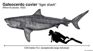 The size of the tiger shark (Galeocerdo cuvier)