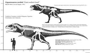 Giganotosaurus carolinii skeletal reconstruction