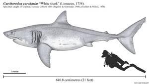 El Monstruo, the Largest White Shark?