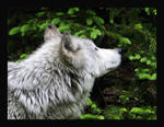 Wolf on the scent by ambermac148