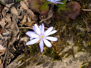 Flower from the stone