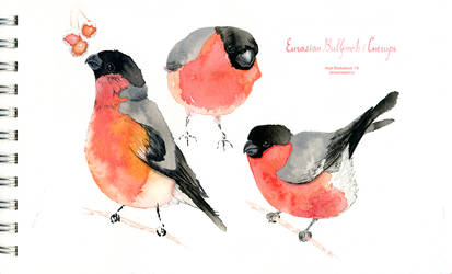 The Eurasian bullfinches by saurivaa