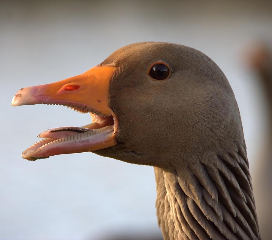 Evil Goose