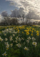 Victoria Park - Daffodil Fields by Isyala