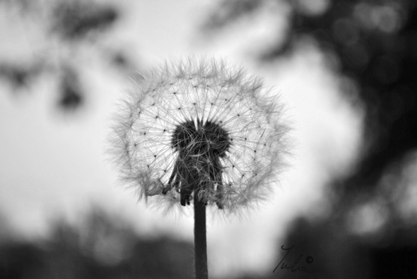 Blowing dandelion black and white - photo#18