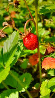 strawberry by JiriBobalik