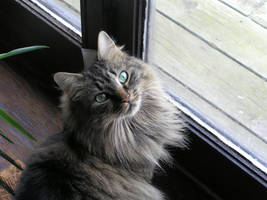 Shasta Cat by kashmier