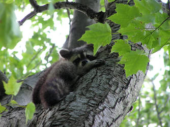 Raccoon by kashmier