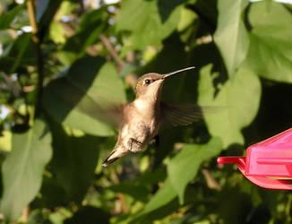 Humming Birdie by kashmier