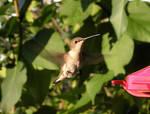 Humming Birdie