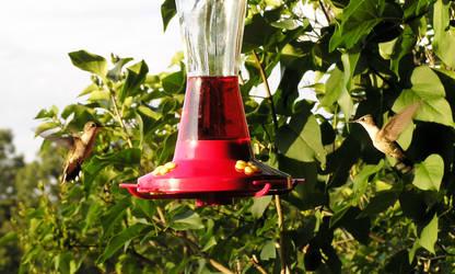 Humming Bird Duet by kashmier