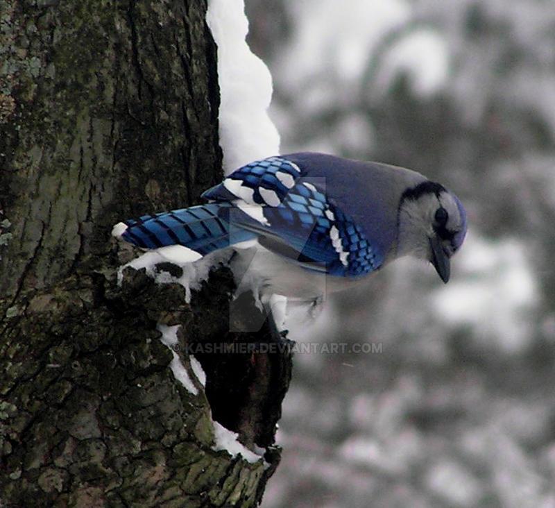 A Blue Scout