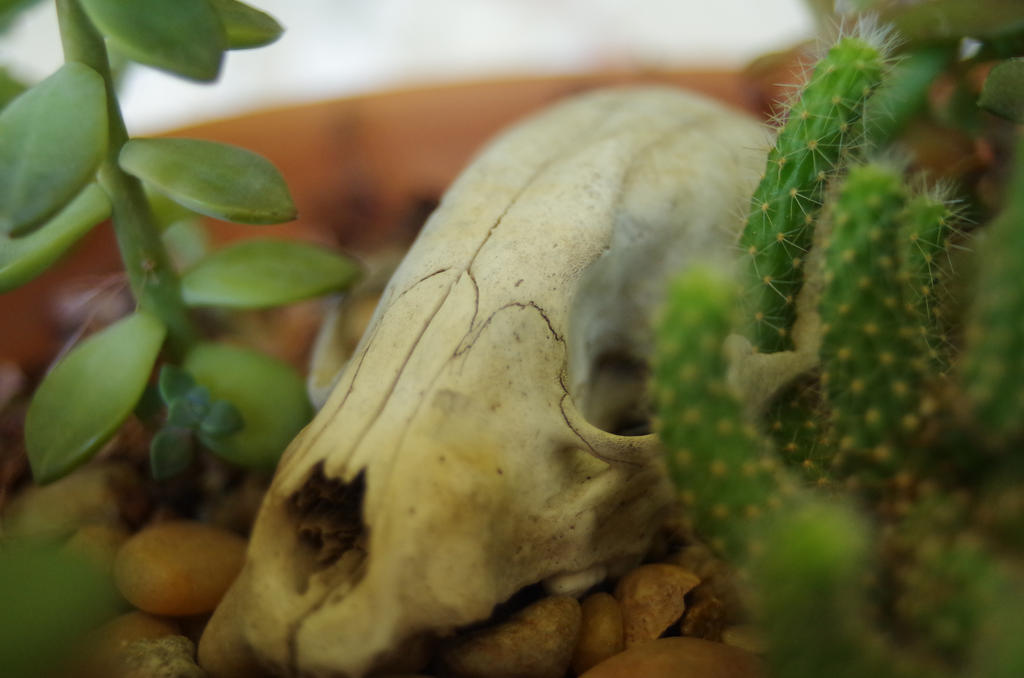 Skull in Cactus by Karie-Pyre