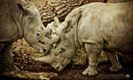 Zoo de Lille - XI -Rhinoceros- by 10thapril