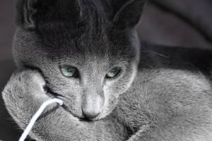 shy Russian Blue by Gala-Galerina