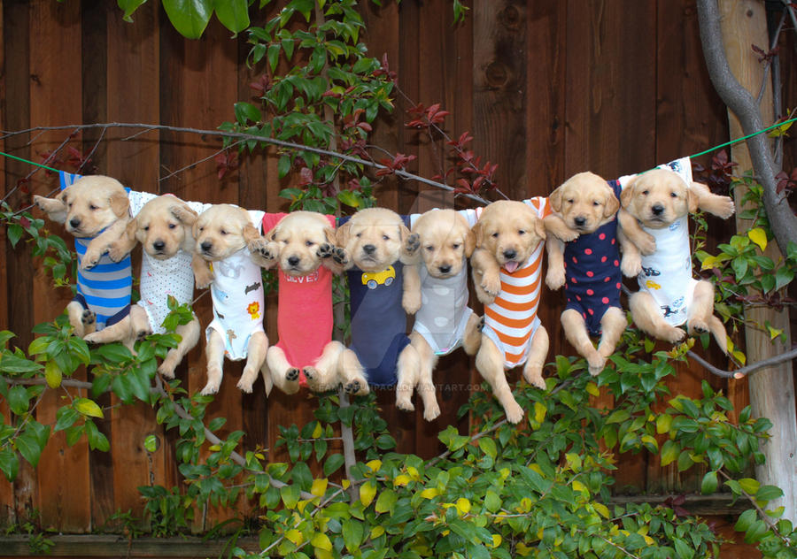 Clothes Line Golden Retriever Puppies By Familyfunpack On