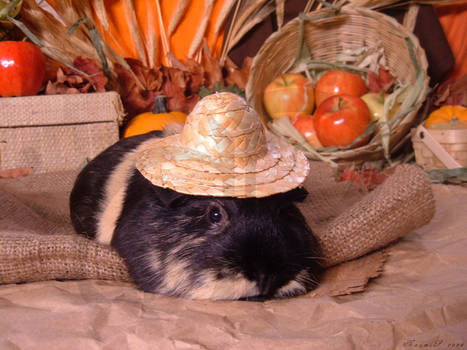 Fall Guinea Pigs: P-Chan