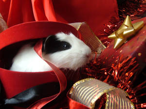 Holiday Guinea Pigs 1