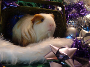 Holiday Guinea Pigs 2