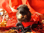 Holiday Guinea Pigs 4