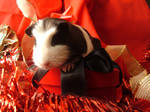 Holiday Guinea Pigs 8