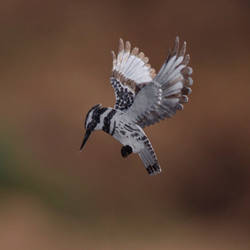 Pied Kingfisher - Paper cut birds