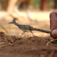 Greater Roadrunner - Paper cut birds by NVillustration