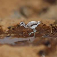 Baby American Avocet  - Paper cut birds by NVillustration