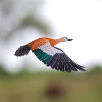 Ruddy Shelduck - Paper cut birds by NVillustration