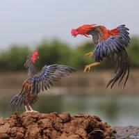 Cockfight  (O-Shamo vs Satsumadori) -  Paper birds by NVillustration
